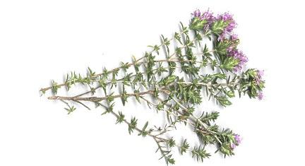 remedios-caseros-para-la-tos-y-la-flema-hierbas-6